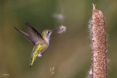 Anna's Hummingbird / Colibri d'Anna (shimmer5641) Tags: calypteanna annashummingbird colibridanna birdsofbritishcolumbia birdsofnorthamerica birdsofthepacificcoast