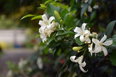 jasmine blooming now (the foreign photographer - ฝรั่งถ่) Tags: jasmine flowers blooming our house bangkhen bangkok thailand nikon d3200