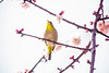 Under the Sun (moaan) Tags: kobe hyogo japan jp bird mejiro japanesewhiteeye ume blossom umetree springbranch perch fromthesky dof depthoffield bokeh bokehphotography canoneos5dsr ef70200mmf28lisiiusm utata 2018
