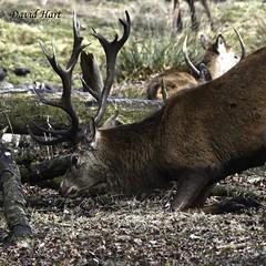 Red deer Stag at Tatton Park, near Manchester, England (David R Hart) Tags: tattonpark nationaltrust manchester england cheshire nikond7200 sigma150600mmf563dgoshsmc reddeer stag davidhart