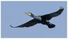 Cormorant 3-3 (Happy snappy nature) Tags: cormorant birdinflight beautiful bluesky nature wildlife outdoors sunnyday shropshire