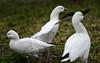 Hazardous flapping (PChamaeleoMH) Tags: anatidae birds centrallondon flapping geese london rosssgeese stjamesspark