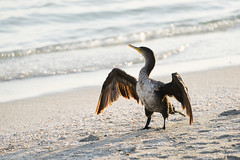 Anhinga Drying Out (GeoDave5280) Tags: caribe florida gulfofmexico sanibel wildlife anhinga backlight backlit beach bird fauna lighting nature ocean outdoors sand standing sunshine water unitedstates us