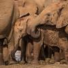 Muddy, wet elephant - Madikwe (Paul Perton) Tags: africa fuji fuji100mm400mmzoom madikwe xpro2 bush bushveld elephant mud river