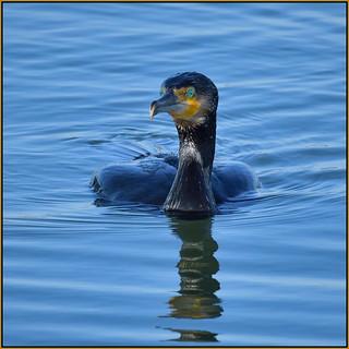 Cormorant (image 2 of 2)
