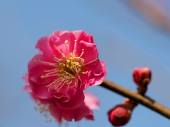 Japanese apricot (Prunus mume, 梅) blossoms (Greg Peterson in Japan) Tags: 植物 flowers japan ritto shiga plants 栗東市 takano 花 梅 plumblossoms 滋賀県 shigaprefecture