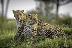 Leopards of Mara (Vinaya Mohan) Tags: leopard cat bigcat bbctravel bbcwild bbcwildlifephotography predator wild wildanimal wildlife wildlifeaddict wildplanet kenya