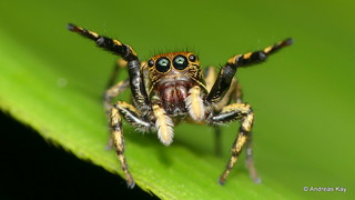 Hands up little Jumping spider!