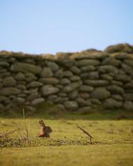 Lapin de garenne (jf.cudennec) Tags: nature animal mammifère mammal lapin rabbit beniguet island molene archipelago winter hiver bretagne finistère