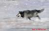 Mariusz Goli - Chase (PhiloTrek) Tags: mariuszgoli chase wolf music musician animal abstract album wildlife video poland guitarist guitar orchestra winter snow bokeh