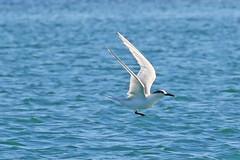 Sandwich Tern (Roy Lowry) Tags: sandwichtern praiadefaro riaformosa thalasseussandvicensis