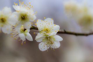 梅花/ Ume plum blossoms