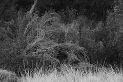 A twist of brier, a weave of thorn (photography by Derek G) Tags: absract brier thorn bramble bush blackandwhite nature plants foliage dark