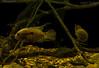 cichlasoma amazonarum with fry. (jasonsulda) Tags: cichlasoma amazonarum south american cichlid fish aquarium blackwater biotope fry parents underwater rocks driftwood gravel underwaterphotography