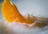 64/365 - Citrus splash (EYeardley) Tags: citrussplash splash flashphotography fruit mandarinsegment segment splashphotography nikon sigma sigmamacro hmm macromondays citrus food macro mandarin orange
