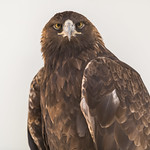 Golden Eagle ♀︎ thumbnail
