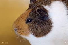 Cavia's (Cavia) (mia_moreau) Tags: cavia miamoreau dieren zuidlimburg dierenportret