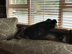 On Watch Duty - Dobermann Pinscher Saxon (firehouse.ie) Tags: dogs dog pinscher pinschers dobermans dobermanns doberman dobermann dobeys dobey dobies dobie dobes dobe saxon
