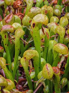 Cobra Lilies #2 - Oregon