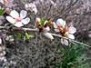 Look closely! He's carrying nectar on his leg. (Ia Löfquist) Tags: crete kreta hike hiking vandra vandring walk walking spring vår bee bi nectar nektar flower blomma almond mandel