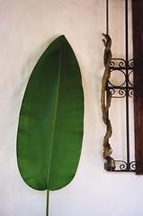 big green leaf (.grux.) Tags: olympus35rc rangefinder film kodakultramax400 big green leaf plant wall sanblas mexico