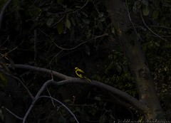 20180310-0I7A5515 (siddharthx) Tags: chandrampallygottamguttachincholiforestchincholinatureres chandrampalli karnataka india in indiangoldenoriole goldenoriole intheshadows amongsttheleaves firstlight dawn sunrise firstrays goldenhour canon7dmkii ef100400mmf4556lisiiusm birdsofindia nature birdonabranch bird birdsinthewild gorgeousnature gorgeouscolors
