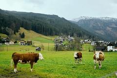 Hallstat, Austria (szeke) Tags: hallstat austria cow cows