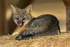 Lick (Ronda Hamm) Tags: california fox wildlife nature nationalpark greyfox mammal animal pointreyesnationalseashore