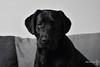 DSC_6398 (nicoooooh) Tags: sepp labrador labradors labs blacklabrador blacklabs dog