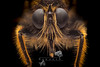 Laphria flava (Linnaeus, 1760) (iwanvh) Tags: 1760 laphriaflavalinnaeus art artist biodiversity environement focusstacking iwan iwanvh naturalist naturaliste nature photographe photographer vanhoogmoed wwwiwanvhcom asilidae dipterainsectaarthropodafauna