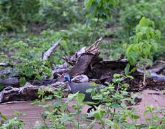 DSC_4475 (H Sinica) Tags: 博茨瓦納 botswana chobe chobenationalpark safari guineafowl 珍珠雞