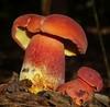 Boletus barragensis (Heidi Prichard) Tags: bolete boletus barragensis fungi fungus mushroom toadstool mycology