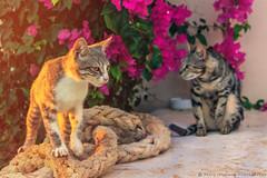 Two cats (Fabio Insalaco) Tags: cat cats gatto gatti creta crete sun sunset tramonto tramonti fabioinsalaco photography animal animals animali pet pets