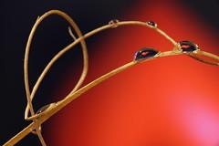 Mini hearts (R.D. Gallardo) Tags: mini hearts corazones heart corazon gota gotas drop drops red canon eos 6d raw estudio tamron 90mm f28 macro
