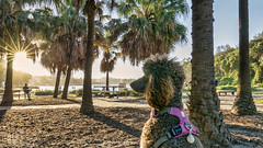 It's a dog's life (geemuses) Tags: poodle isabeau issy dog dogslife scenic scenery animal pet canineshellybeach manly nsw australia colour color sunset landscape trees green blue lumix panasonic lx100