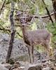 whitetail deer - Madera Canyon (dbking2162) Tags: maderacanyon mountains arizona animal wildlife whitetail deer beautiful beauty rocks outside canyon