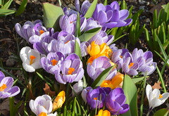 AFTER ALL THE HORRIBLE WEATHER IN ABBOTSFORD LAST WEEK, MY CROCAS FLOWERS ARE IN WONDERFUL BLOOM, RIGHT ON SCHEDULE. (vermillion$baby) Tags: alta avemy garden abbotsford closeup color crocus flower spring flowerflickr flowwer hawaiin maui blossom bc fraservalley beautifulbc