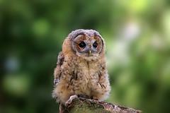 Little Owl (crafty1tutu (Ann)) Tags: travel holiday 2017 unitedkingdom uk england yorkshire huby birdsofpreycentre animal bird owl baby captive crafty1tutu canon7dmkii ef100400mmf4556lisiiusm anncameron naturethroughthelens
