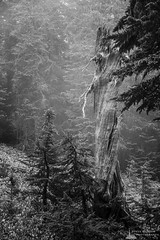 Old Snag, Spray Park, Mount Rainier National Park, Washington, 2017 (Steve G. Bisig) Tags: pacificnorthwest landscape foggy washington flowers alpine nature mist unitedstates northwest meadow wildflowers originalphotographers blackandwhitephotography naturephotography spraypark outdoorphotography photooftheday snag northamerica tree washingtonstate landscapephotography photography nationalpark outdoors fog usa blackandwhite wilderness mountrainiernationalpark ashford us
