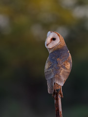 Barn Owl (Tyto alba) (SharifUddin59) Tags: barnowl owl tytoalba tyto alba kekahabeach kekaha kauai hawaii bird birdofprey nature perched animal wildlife
