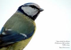 * (Ramunė Vakarė) Tags: haiku haiga poetry lithuania eičiai ramunėvakarė text image paruscaeruleus bluetit