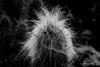 Cactaceae (DirkVandeVelde back , and catching up) Tags: europa europ europe parquedelapaloma espagne spanje spain benalmadena malaga torremolinos cactus flora plant plantae spermatopsida zwartwit blackandwhite noirblanc monochrome sony