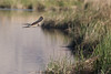 gliding by (jimmy_racoon) Tags: canon 400mm f56l 5d mk2 henderson bird viewing preserve birds flight prey bif hawk nature prime canon400mmf56l canon5dmk2 hendersonbirdviewingpreserve birdsinflight birdsofprey