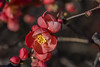 RPA_3278.jpg (Pejasar) Tags: red quince bush bloom spring color life nature alive surprise newness spectacular tulsa neighborhood oklahoma nikon d7200