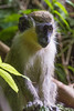 DUV_0764r (crobart) Tags: green monkey welchman hall gully barbados caribbean island jungle