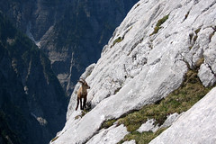 Your way (natural illusions) Tags: alpineibex summer june alps somewhere animal ibex slovenia europe julianalps steep rocky slope lb1415 allrightsreserved nature landscape mountains interesting wildlife wild capricorn rock cliff kozorog poletje