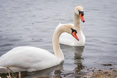 Dechsendorfer Weiher Schwäne 5476 (Peter Goll thx for +6.000.000 views) Tags: 2018 dechsendorf natur winter erlangen germany schwan swan weiher pond lake