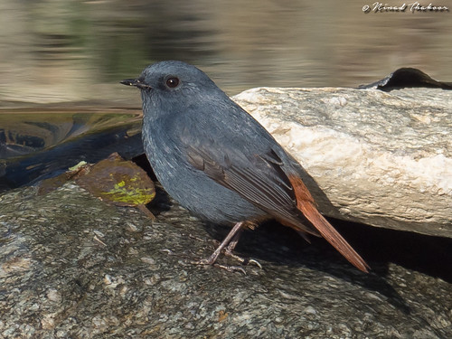 """Plumbeous Water-Redstart (Lifer) • <a style=""""font-size:0.8em;"""" href=""""http://www.flickr.com/photos/59465790@N04/26887682958/"""" target=""""_blank"""">View on Flickr</a>"""