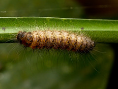 Schmetterlingsraupe (Eerika Schulz) Tags: schmetterlingsraupe raupe caterpillar puyo ecuador jardin botanico las orquideas eerika schulz