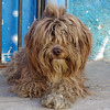 Perrito. Piesek. (cbrozek21) Tags: dog portrait pet animal perro pies shaggy